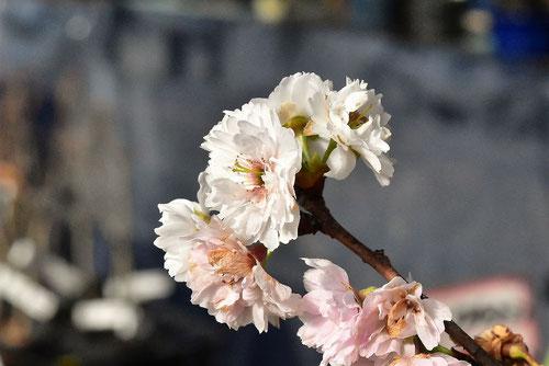 冬に咲く桜,種類