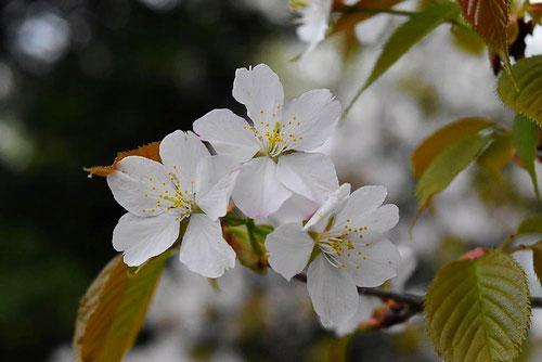 山桜 種類
