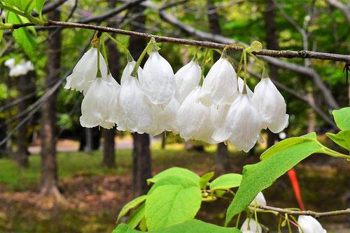アメリカアサガラ 花