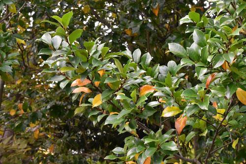 バナナの香りがする花の木,からたねおがたま