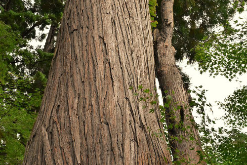 スギの木,すぎ