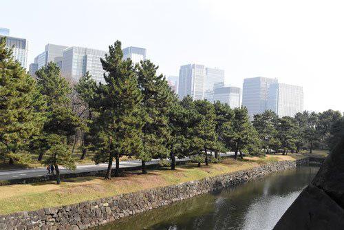 Japanese black pine tree