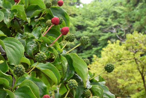 Japanese flowering dogwood,fruits,picture