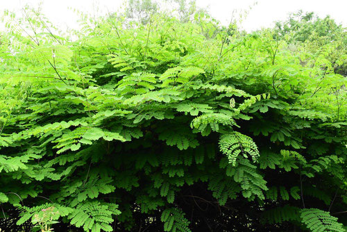 Mysore thorn,picture