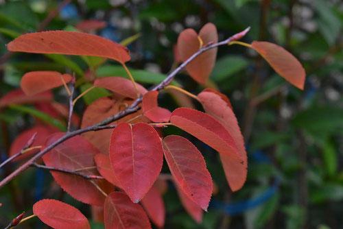 ジューンベリー 紅葉
