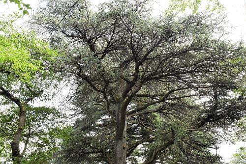 レバノン杉 アトラス杉