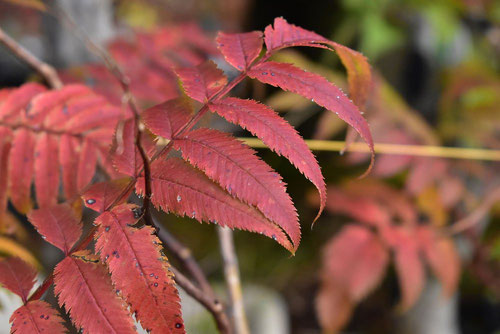 チンシバイ 紅葉 黄葉