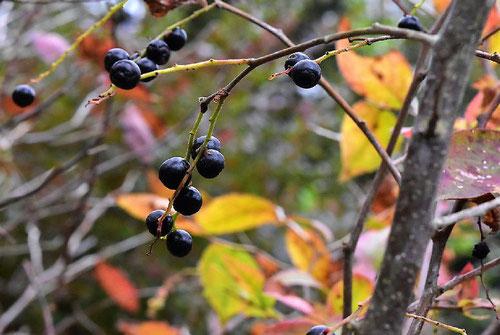 ぶんぶくちゃがま 木の実