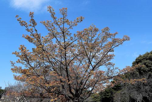 カンザクラ,植木