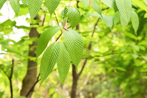 千鳥の木,葉っぱ,画像