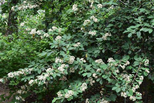 コトネアスターの花