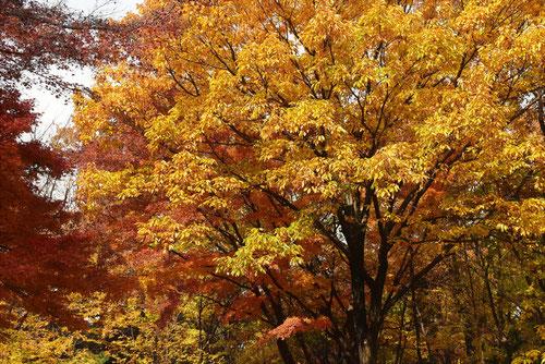 小楢,紅葉,画像