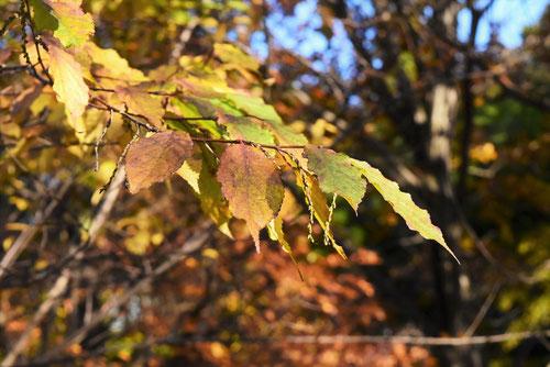 木五倍子 紅葉