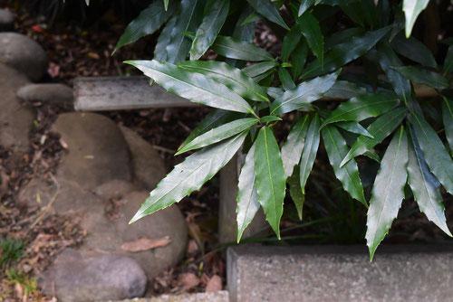 青木の種類 庭