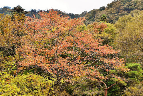 Sargent's cherry,Japan