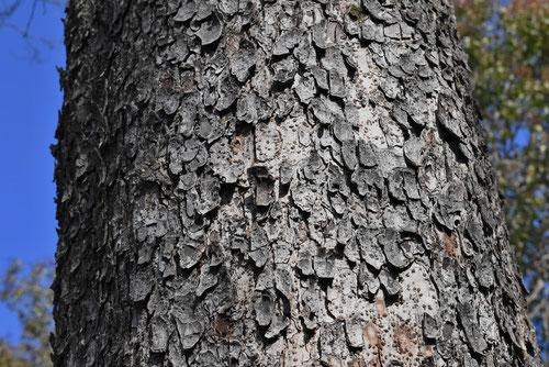 アキニレ 樹皮 画像