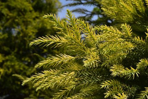 Japanese golden cedar