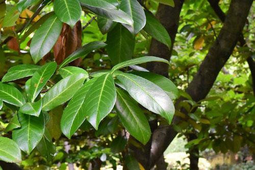西洋バクチノキ,せいようばくちのき,庭木