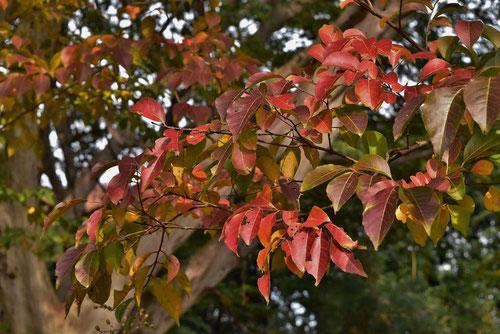 シマサルスベリ 紅葉 黄葉