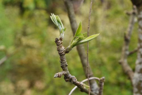 キングサリの木の葉