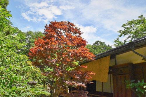 ノムラモミジ 庭木図鑑