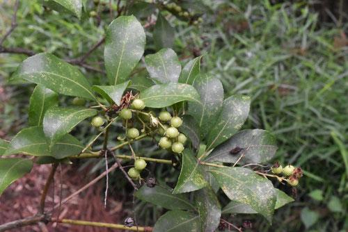 馬酔木 種子