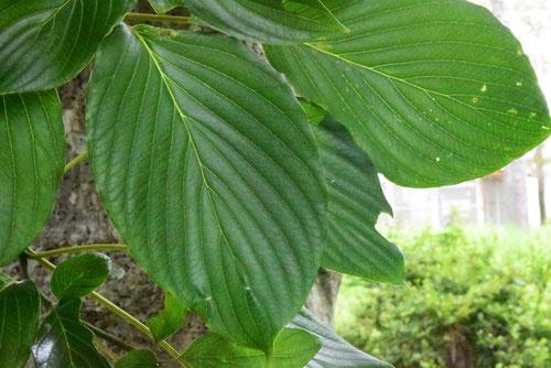 水木の葉っぱ