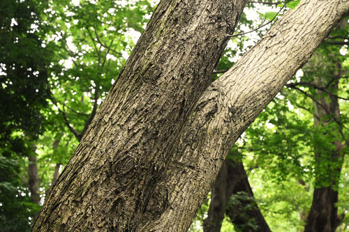 オヒョウの木の幹