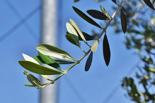 オリーブの木の葉っぱ