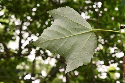 ハナノキ,樹木