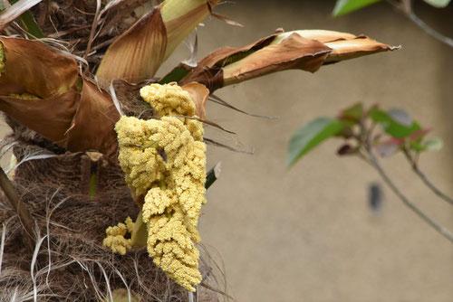 棕櫚の花の画像