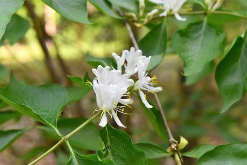花ひょうたんぼく,特徴