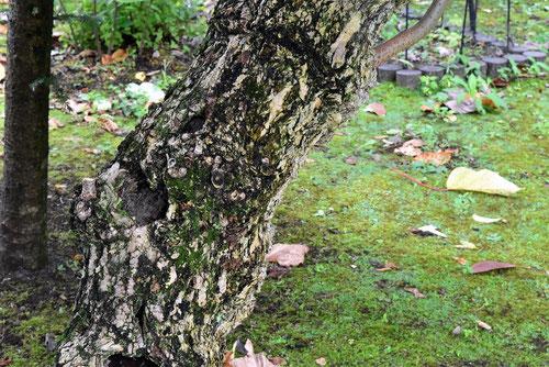接骨木の幹 画像
