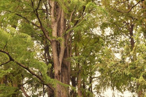 たちらくうしょう,樹木