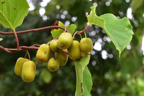 猿梨 収穫時期 味