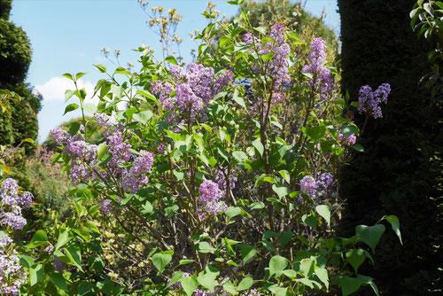 Lilac,flower