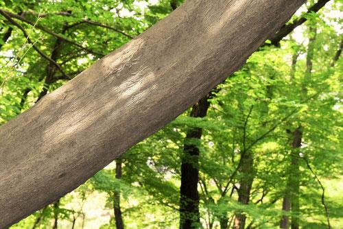えごのき,木,特徴