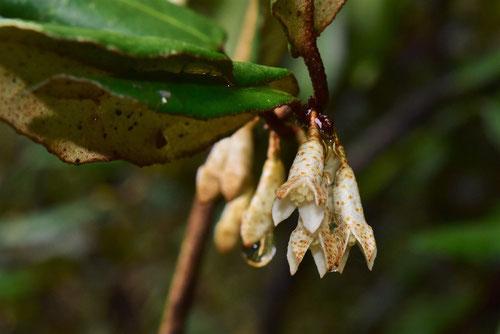Thorny elaeagnus,flower