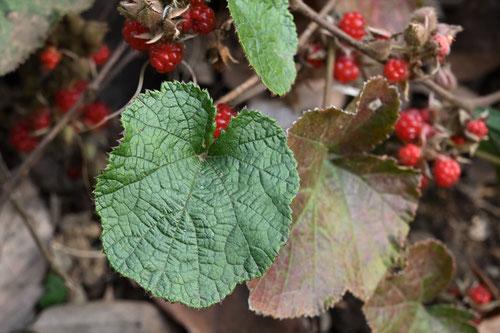 冬イチゴの葉
