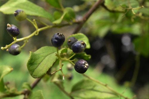 ニシゴリの木の実