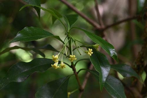koyasunoki tree