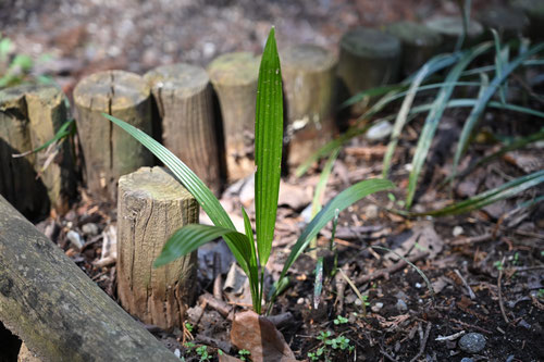 棕櫚の木,増える