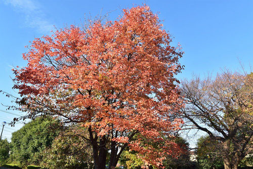 ウワミズザクラの紅葉,画像