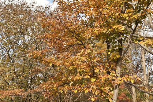 アワダンゴの木 黄葉