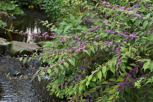 小紫 庭木