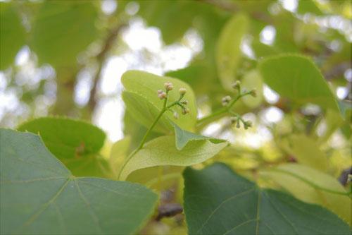 菩提樹の花 つぼみ