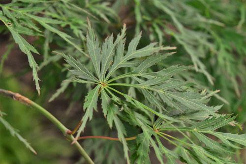 Acer amoenum var. matsumurae 'Kire-nishiki'