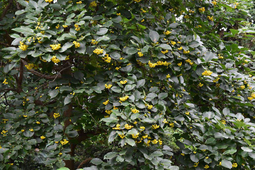 yellow fruits tree