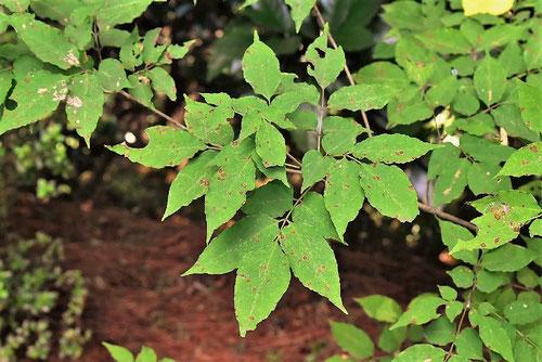 トネリコ,葉っぱ
