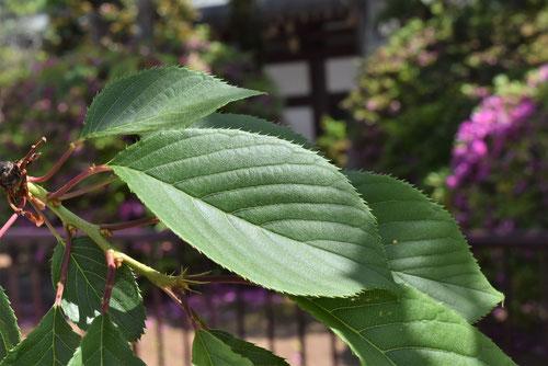 鬱金櫻,葉っぱ,うこんざくら
